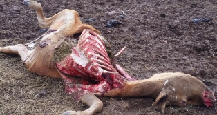 Cow Killed by Coyotes