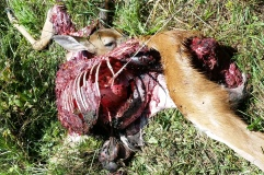 Deer Killed by Coyotes